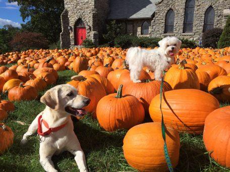 Dog down stay pumpkins